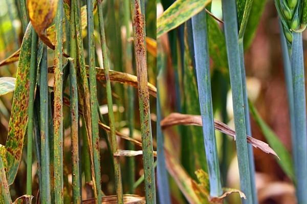 Phát triển công nghệ tăng khả năng chống bệnh bệnh rỉ sắt của cây trồng
